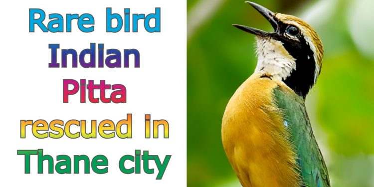 Rare bird Indian Pitta rescued in Thane city